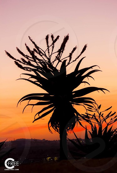 A sillouette of exotic plant life created by a vibrant sunset in Pemba Africa. photo
