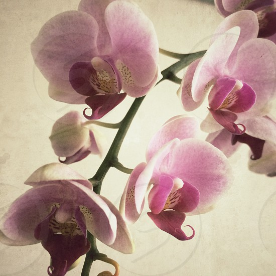 Mauve and white orchid flowers on stem photo