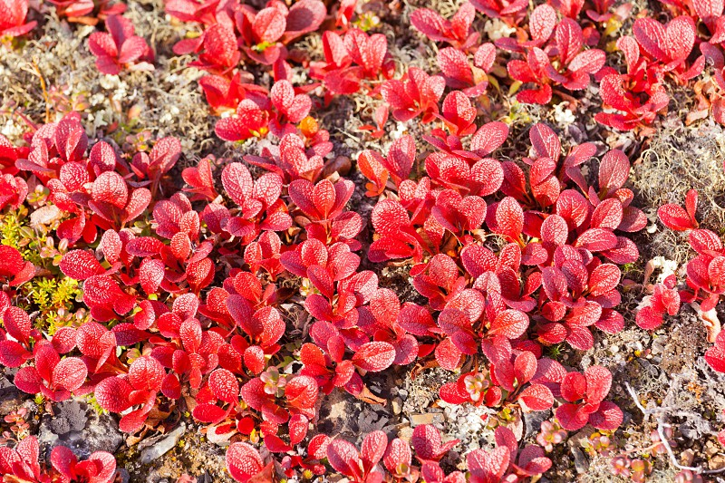 Red Bearberry plant Arctous rubra bright red colored leaves in autumn nature background texture pattern photo