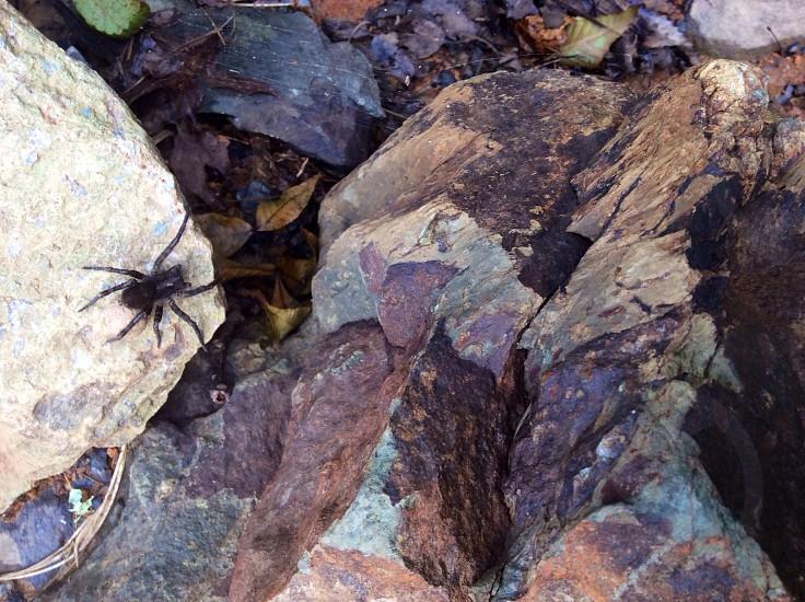 black wolf spider photo