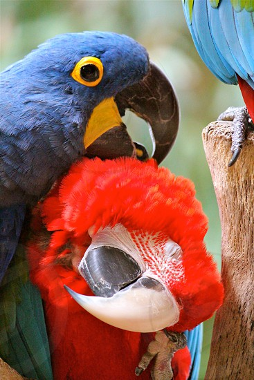 scarlet macaw and hyacinth macaw on tree during daytime photo