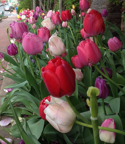 Tulips in Georgetown  photo