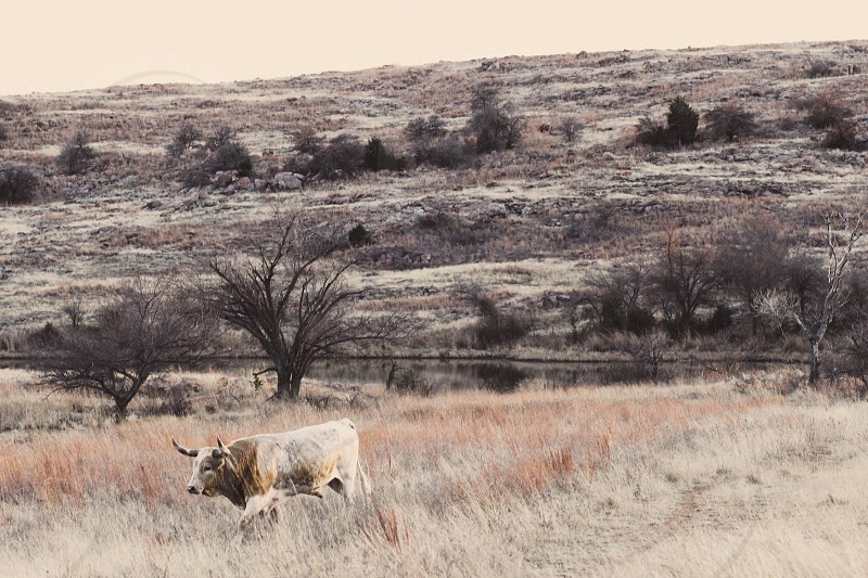 Long horn country Oklahoma field wild wildlife nature Mother Nature photo