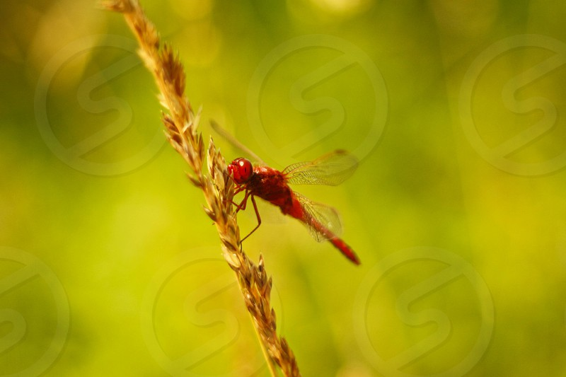 Red dragonfly. ( no filter! ) photo