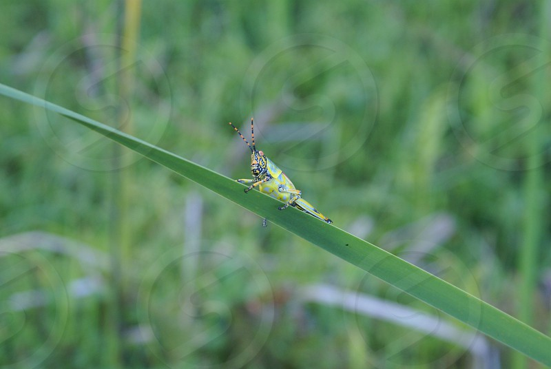 grasshopper  plant nature grass green photo
