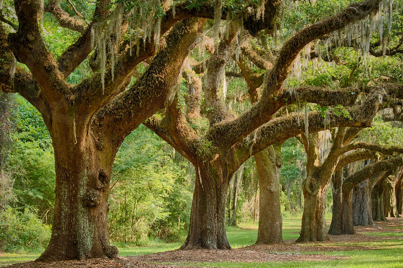 The majestic oak allee at Boone Hall Plantation in Charleston South Carolina photo