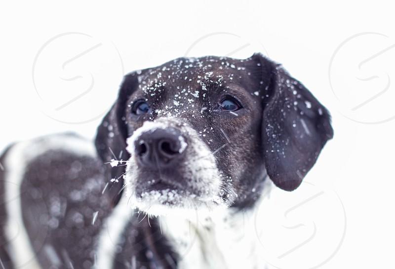 black and white short coat medium dog photo