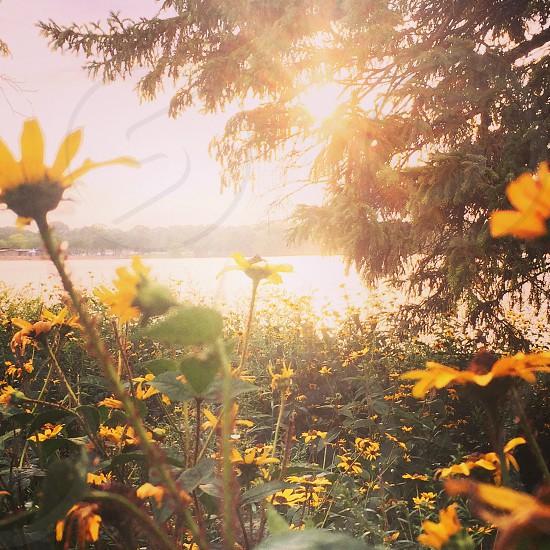 #sunset #sunflowers photo
