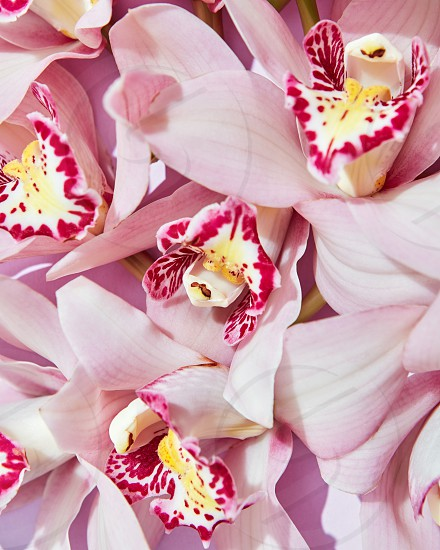 Delicate pink orchid flowers with a pattern on petals. Flowering layout for your ideas. Flat lay photo