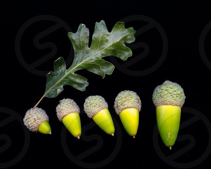 green acorns photo