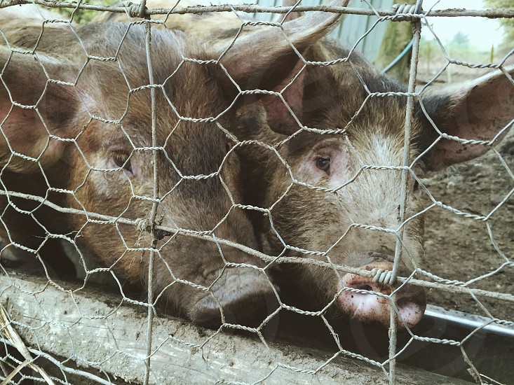 Dirty pigs regard visitors through wire fences photo