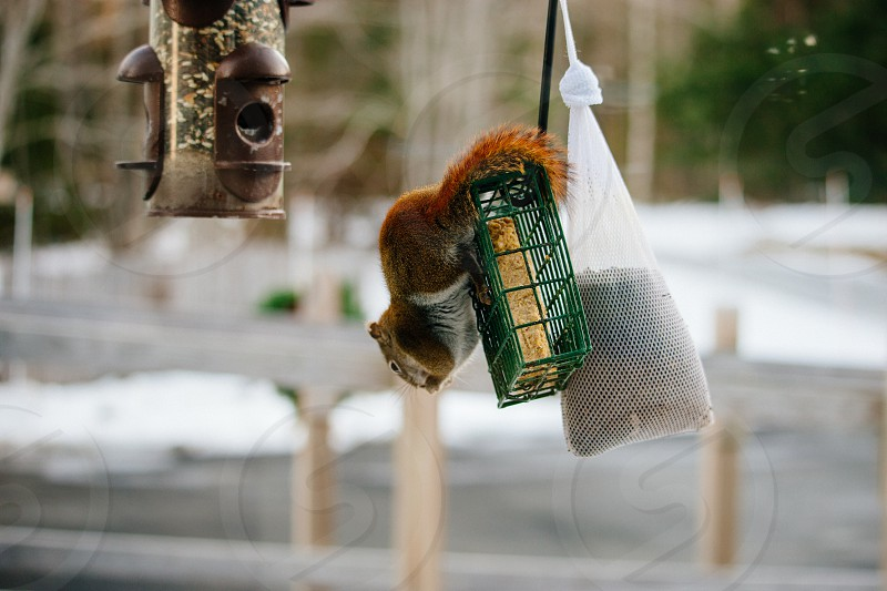 Red Squirrel stealing food from a bird feeder. photo