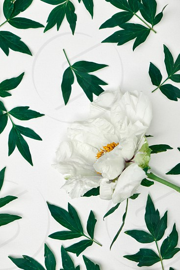 Top view floral background. Green leaves and white peonies pattern isolated on white. photo