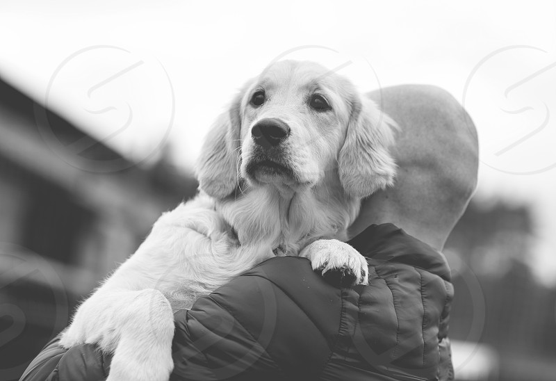 portrait of golden retriever and his owner photo
