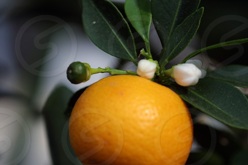 orange blossom photo