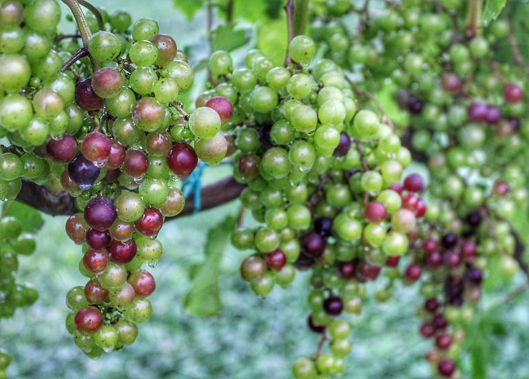 Grapes vineyard nature closeup photo