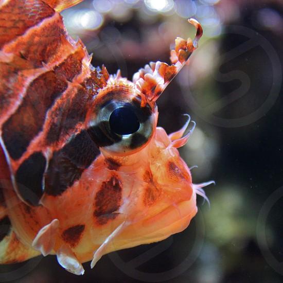 Dwarf Lionfish Portrait photo