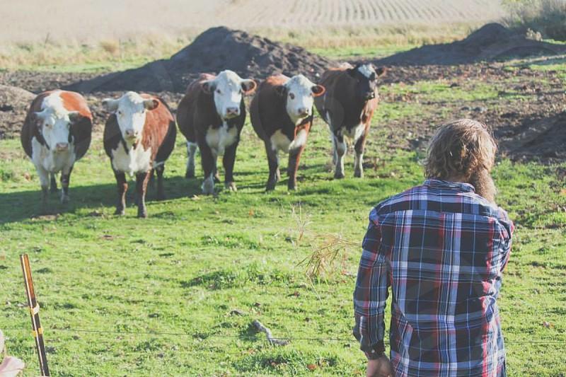 cow plad green bull steer man lumberjack  photo
