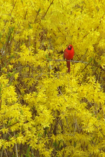 Red and Yellow (cardinal in a forsythia bush) photo