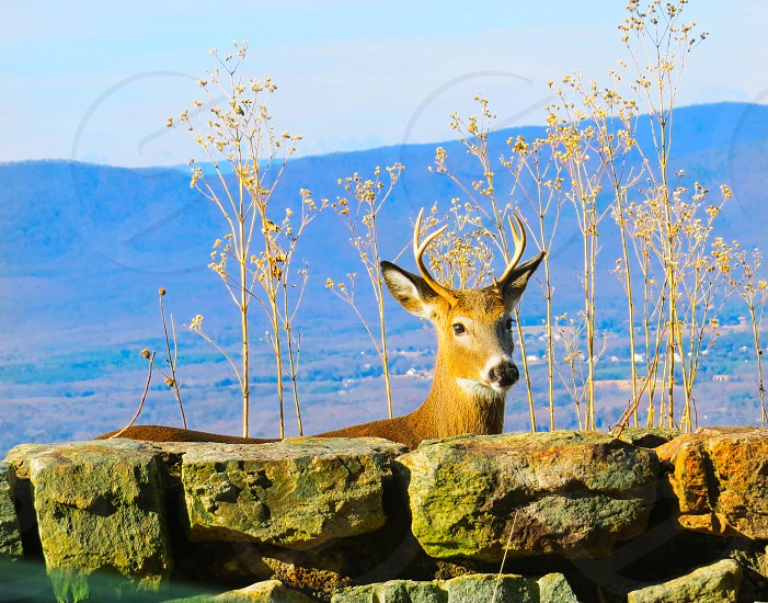 Deer nature young buck stone wall mountains wildlife antlers  photo