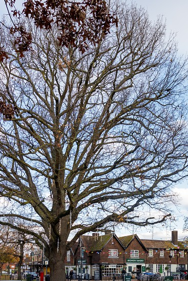 CRAWLEY WEST SUSSEX/UK - NOVEMBER 21 : View of an old pub by a huge tree in Crawley West Sussex on November 21 2018. Unidentified people photo