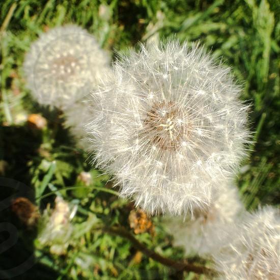 focus photo of dandelion photo