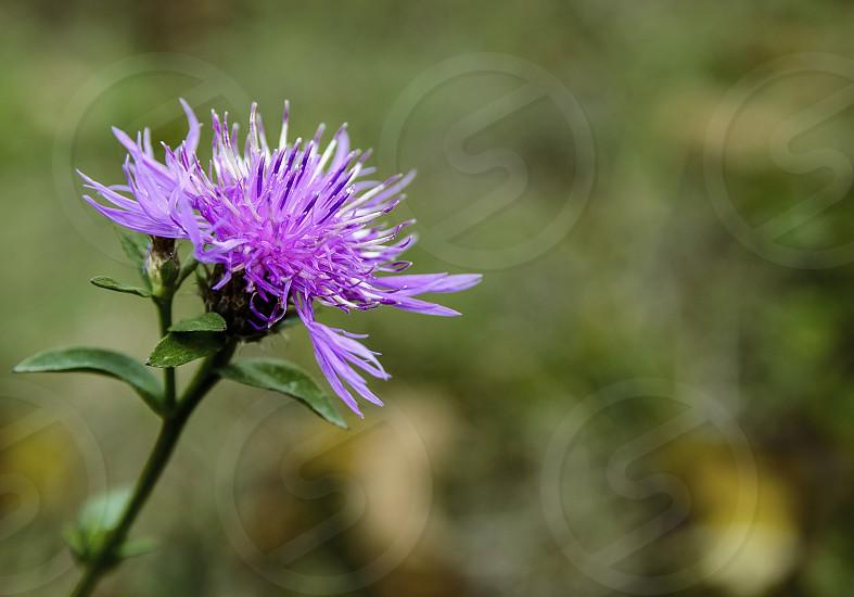Purple forest flower photo