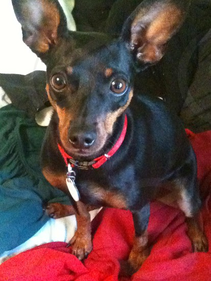 A personal photo of Pepper the Miniature Pinscher. photo