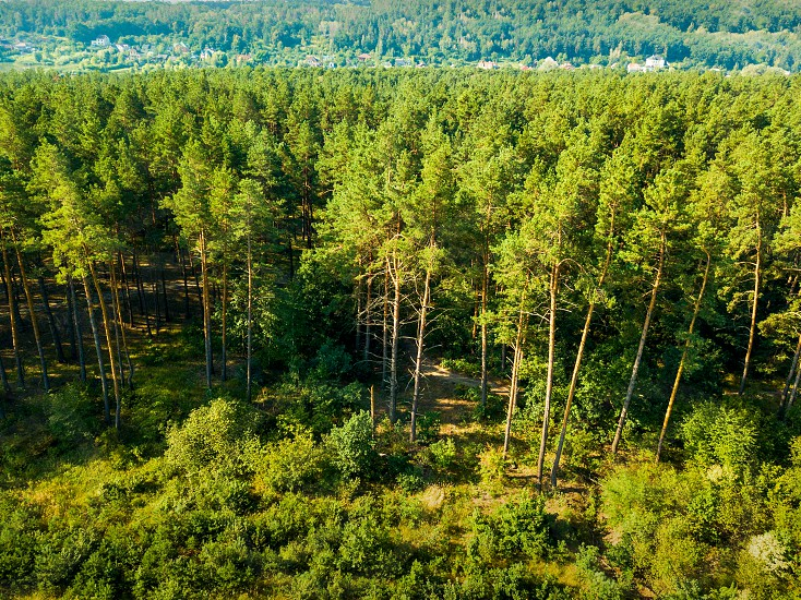 Panoramic view of the pine forest and a small village on a sunny day. Aerial view from the drone. Natural background photo