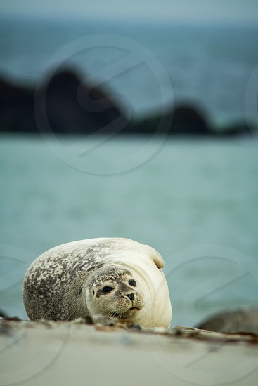 Seal lying on the beach in Dune Helgoland in Germany seal in last light of the day sunset on the beach young seal on the beach seal pup cute baby animal on the beach photo