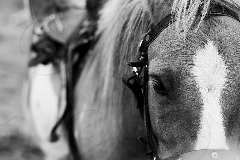 Closeup of a pony with saddle monochrome effect. photo