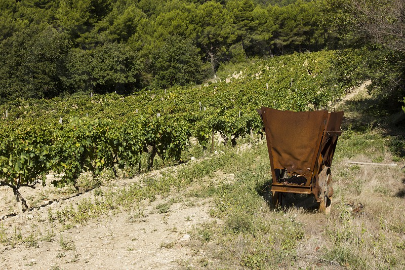 Grapevine with old cart photo