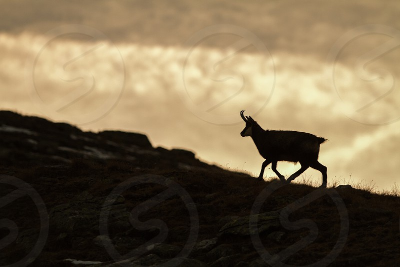 Chamois Rupicapra rupicapra on the rocky hill during misty morning mountain in Gran Paradiso Italy. Autumn in the mountains. Mammal herbivorous wildlife scene photo