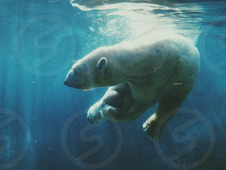 Polar bear underwater aquarium photo