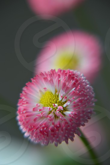 Spring English Daisy pink and white close up for detail. photo
