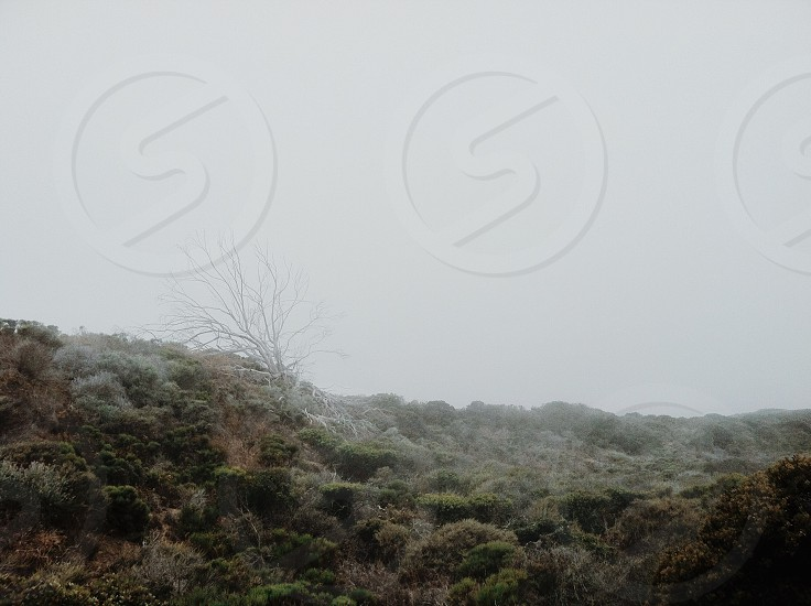 A dead eucalyptus tree hiding in the fog photo