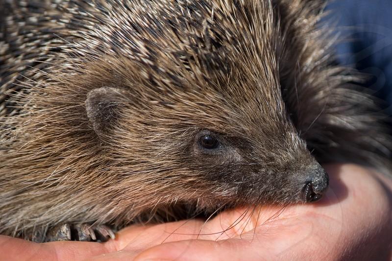 European Hedgehog (Erinaceus europaeus) photo