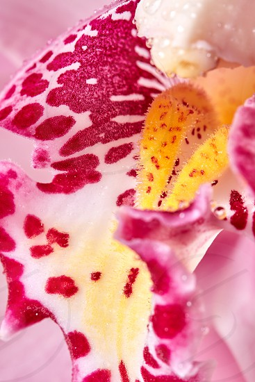 Bright colorful pink orchid flower with dew drops. Macro photo as a floral background. photo