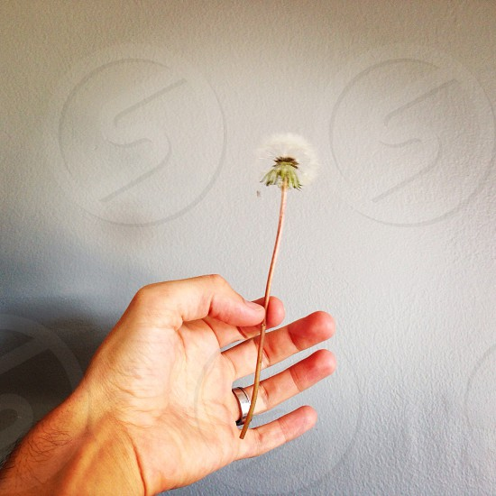person holding white dandelion flower photo