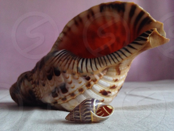 Triton charonia and amphidromus everetti very rare sea shell photo