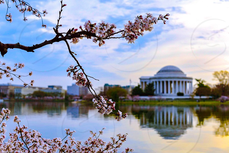 Cherry blossoms; Washington DC; Spring photo
