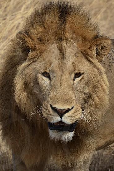 Lion Lion Mane Hair Crazy Hair Wildlife Wild Nature African Safari Landscape eyes Animals Lion Portrait The Lion King King of the Jungle photo