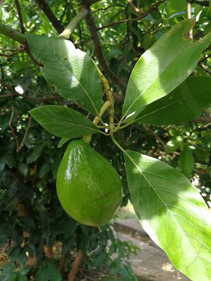 A Growing Baby Avocado Fruit photo