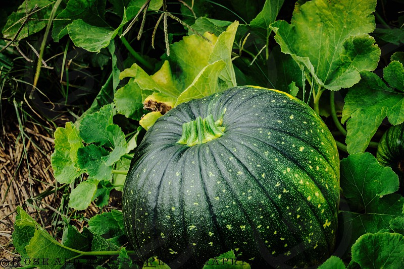 Squash gourd pumpkin garden grown photo