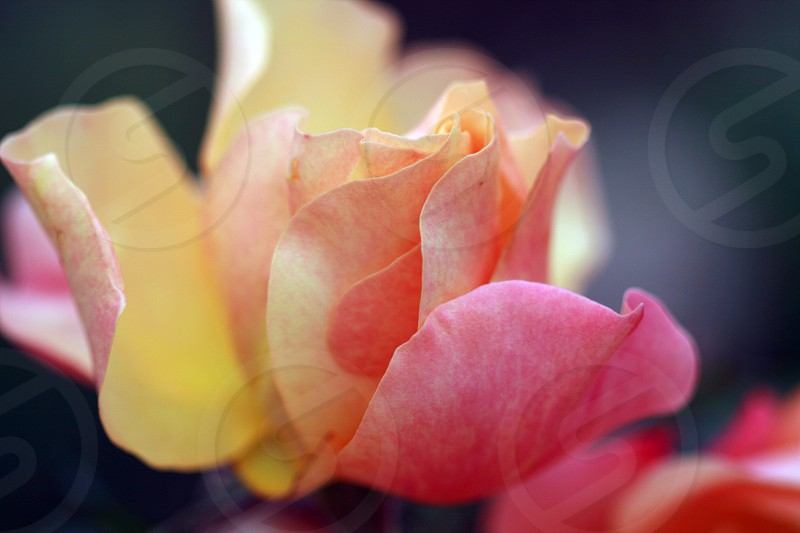 macro view of pink and yellow flower photo