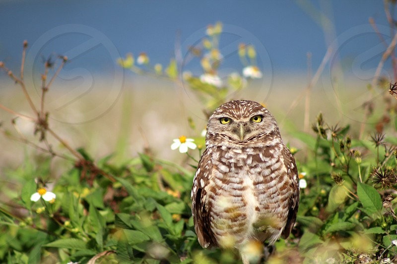Burrowing owl bird of prey wildlife nature bird photo