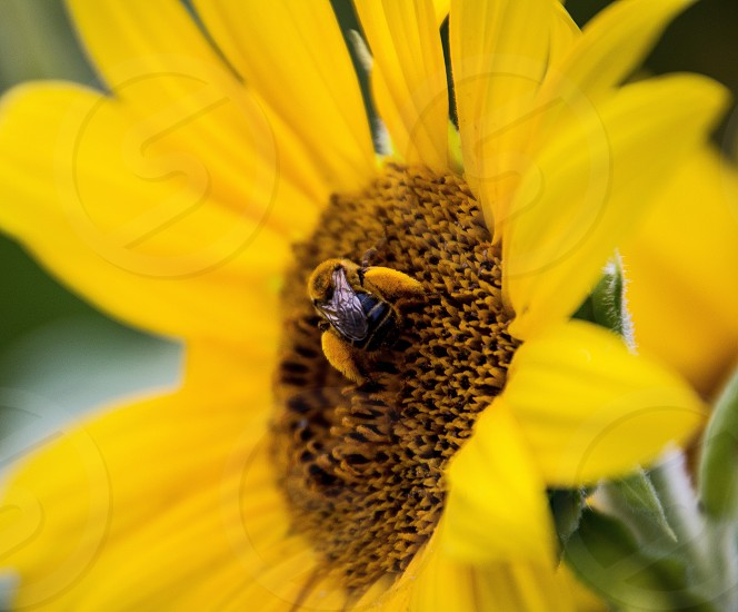 black and yellow honey bee on  sunflower in shallow focus lens photo