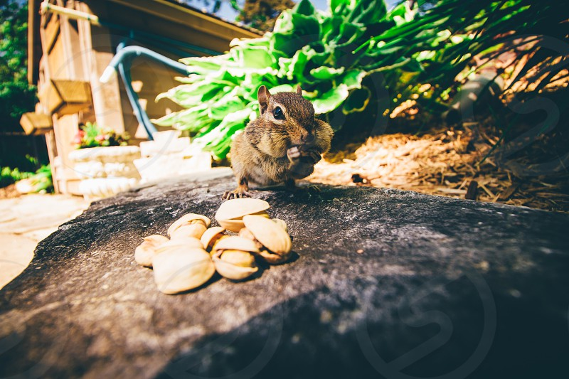 brown squirrel eatting nuts photo