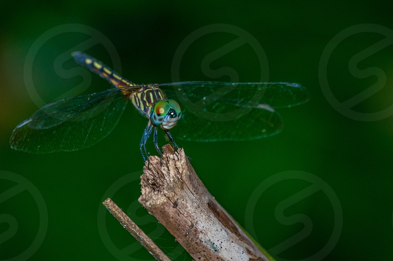 Blue Yellow Green Black wings Dragonfly photo