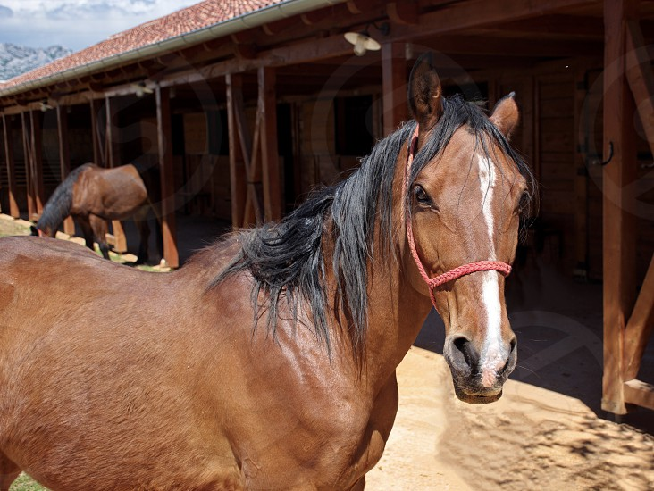 Portrait of a brown horse in front of a stable photo